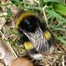 Bombus lucorum (White-tailed Bumblebee)