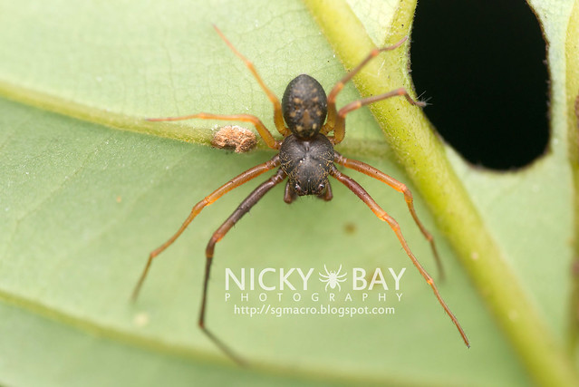 Crab Spider (Thomisidae) - DSC_4633