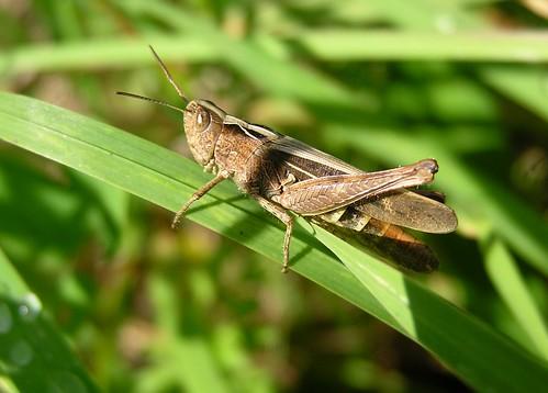 Chorthippus parallelus - Meadow grasshopper - Criquet des pâtures - 26/08/12