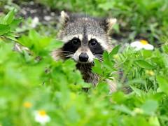 [フリー画像素材] 動物 1, 哺乳類, アライグマ ID:201209261800