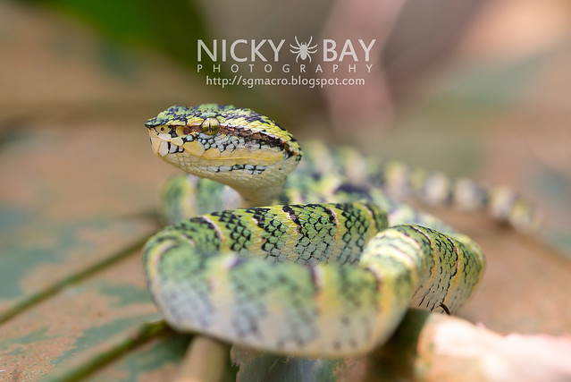 Wagler's Pit Viper (Tropidolaemus wagleri) - DSC_3874