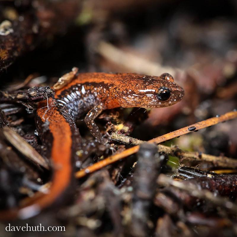 Red back salamander (Plethodon cinereus)