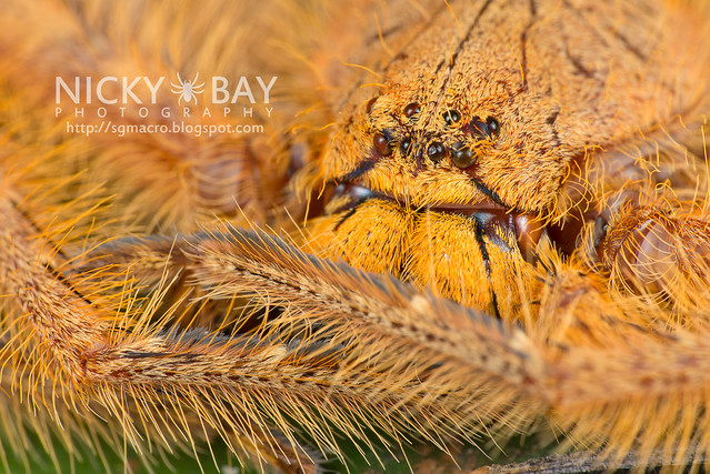 Huntsman Spider (Sparassidae) - DSC_2183