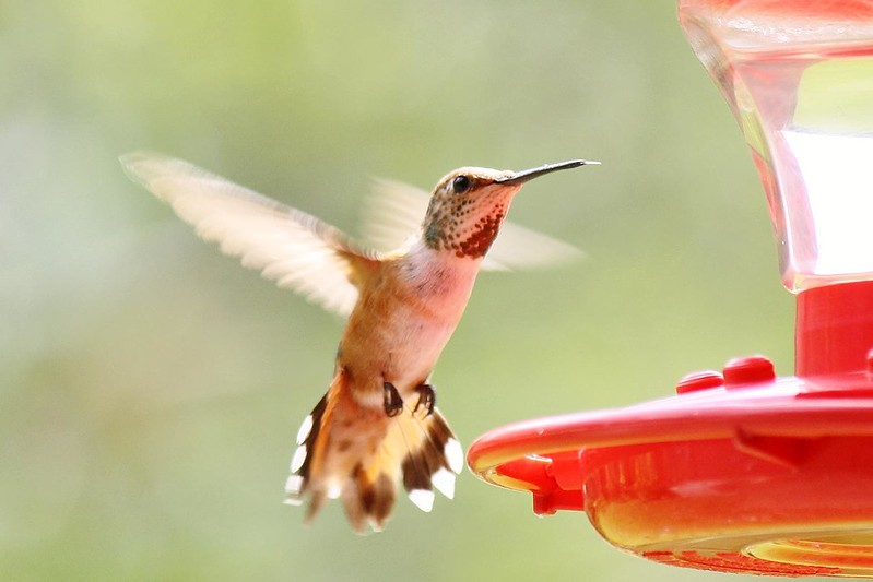 Female Rufous Hummingbird