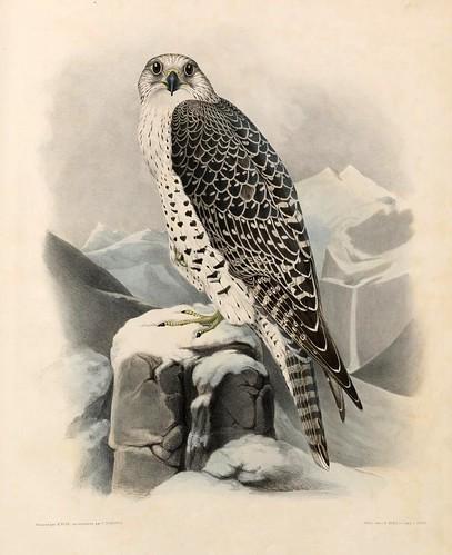 07- Halcon macho de Islandia- Traité de fauconnerie..1853- Hermann Schlegel- Universität Düsseldorf