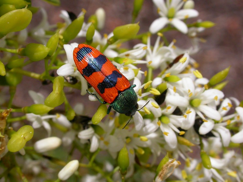 Jewel Beetle  12-07