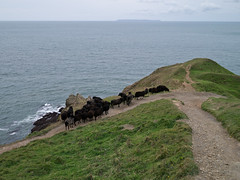 Goats at Baggy Point