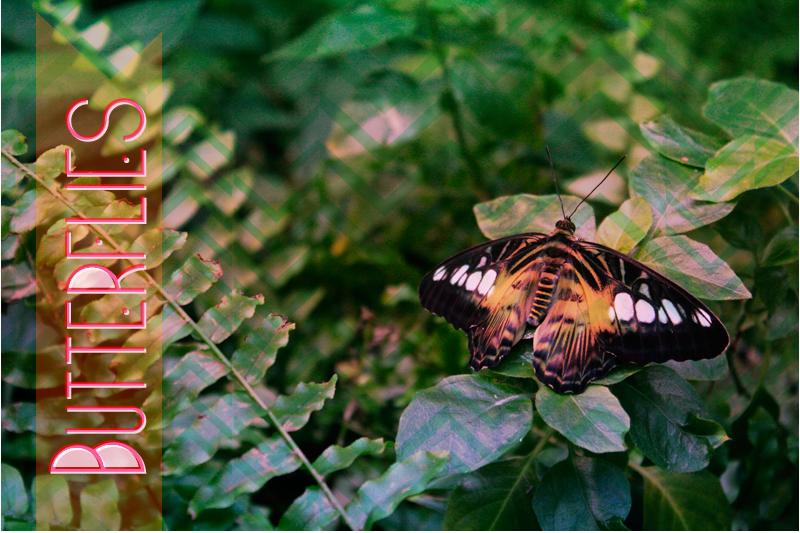 {butterflies}