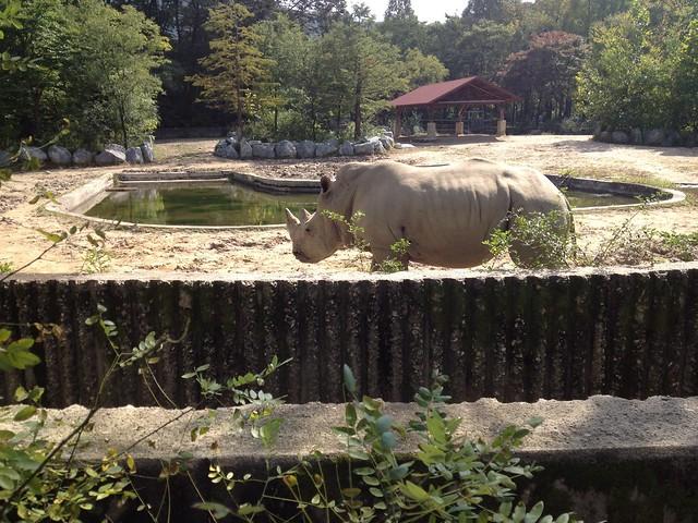 Rhino in Seoul zoo