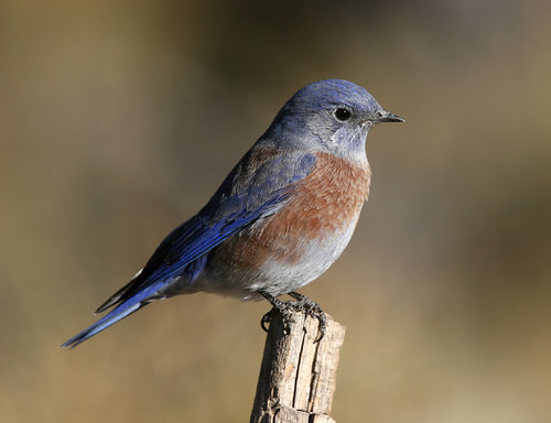 Previously abundant in western Oregon, the Western Bluebird suffered a precipitous decline through degradation of habitat and avian competition. (USFS Photo)