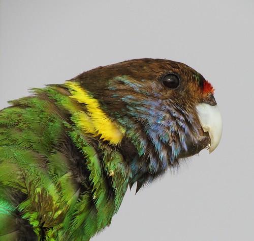 birds wa baldivis 28parrot ringneckedlorikeet