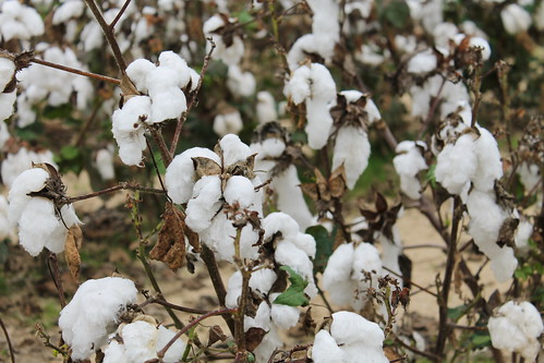 Cotton, Gibson County, Tennessee