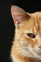 Baron the Cat