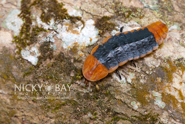 Firefly larva (Lampyridae) - DSC_5831