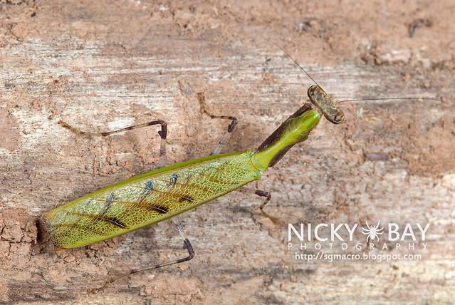 Praying Mantis (Acromantis sp.) - DSC_5592
