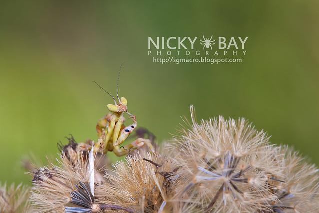 Flower Mantis (Creobotra sp.?) - DSC_5112