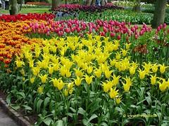 Dutch Tulips, Keukenhof Gardens, Netherlands - 3927