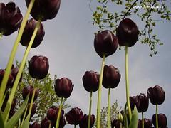 Dutch Tulips - Black Tulip, Queen of the Night - 3981
