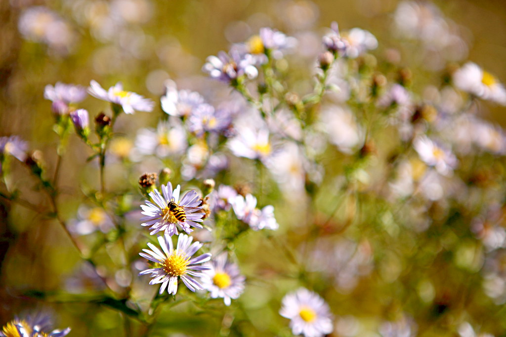 purple flowers, daisies, with a hover fly in Sheffield