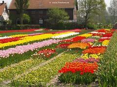 Keukenhof Gardens, Tulip fields, Netherlands - 0621