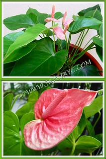 Collage of our Anthurium andraeanum: a Dwarf light pink and and the standard rosy-pink varieties, Sept 15 2012