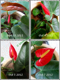 Collage of a red Anthurium andraeanum, showing its emergence at our courtyard