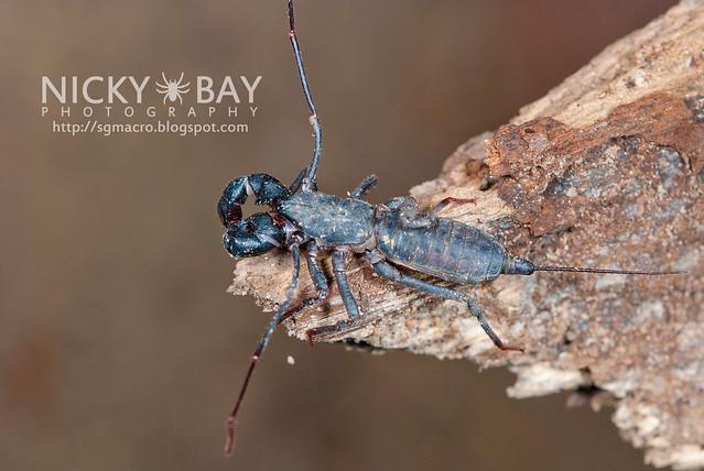 Whip Scorpion (Thelyphonida) - DSC_3079