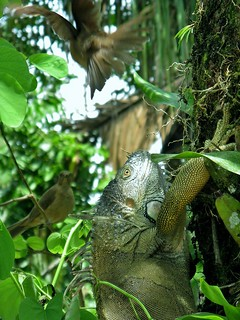 godzilla iguana vs dive-bombing clay-colored thrush