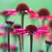 20160717_yard flowers..._2104