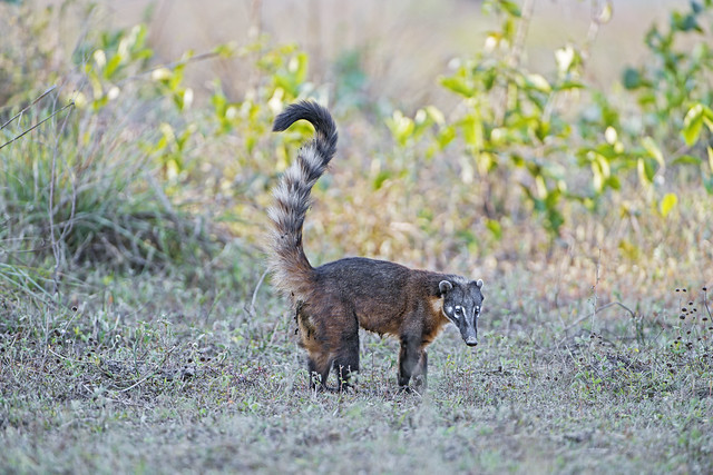 Coati with tail up