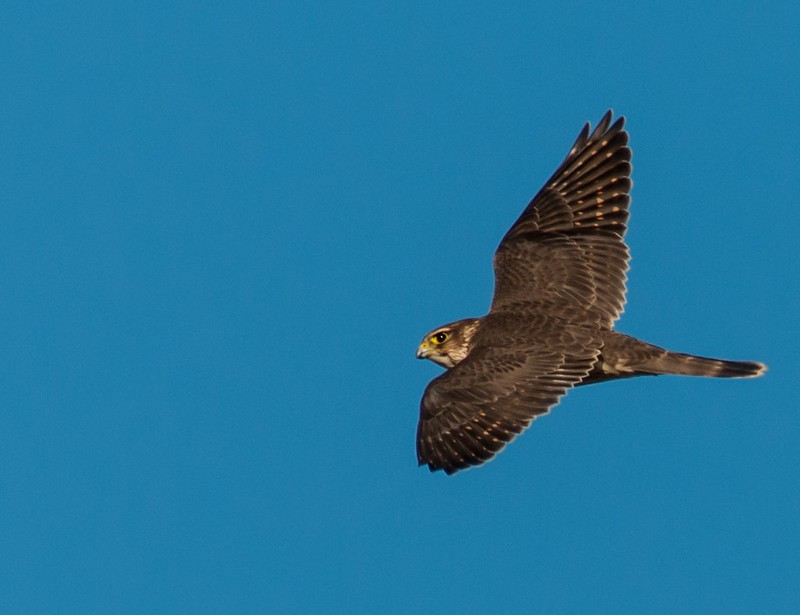 Taiga Merlin in Flight