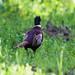 Small photo of Common Pheasant (Phasianus colchicus)