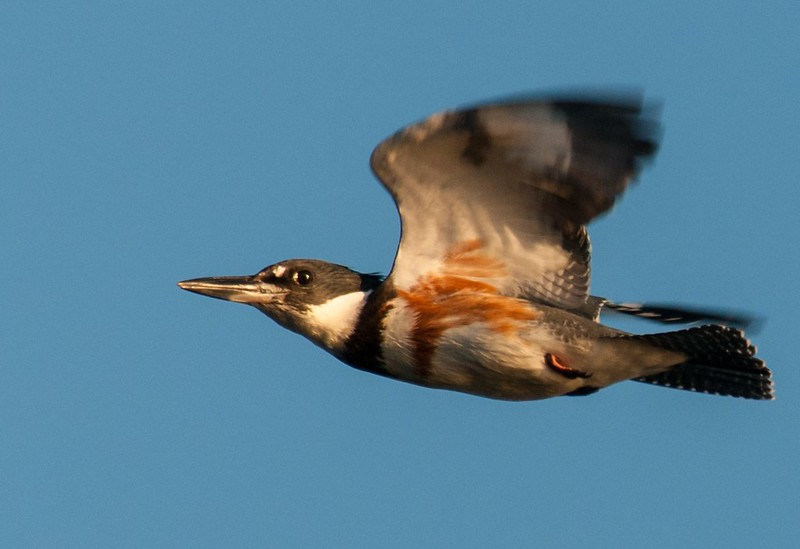 Kingfisher closeup in flight