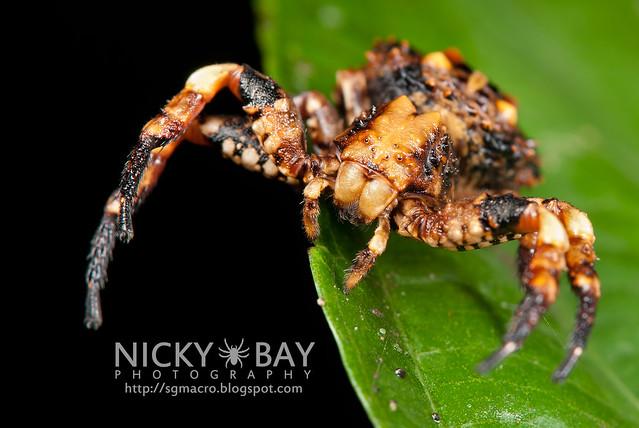 Bird Dung Crab Spider (Phrynarachne sp.) - DSC_7745