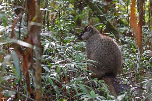Brown Lemur (Eulemur Fulvus Fulvus)