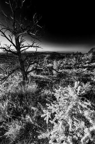 newmexico tree monochrome sunrise bush unitedstates desert bandelier losalamos highdesertlight