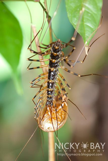 House Centipede (Scutigeridae) - DSC_5877