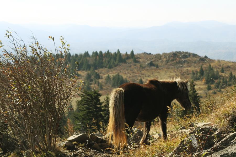 grayson_highlands_pony3