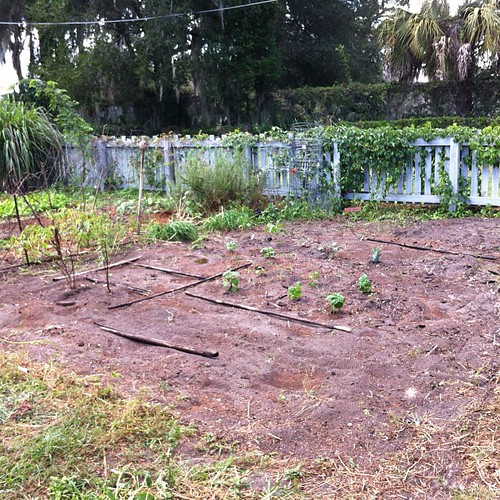 Fall garden - mesclun and onion seed with a few daikon radish in first 2 rows with basil. Pepper, kale and broc with a pineapple in the next 2 rows. Garlic chives and lots of other Ingrid Travers seeds in the last 2 rows. We're set!