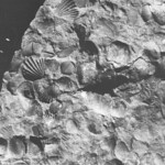 Silurian fossils from the Usk Inlier