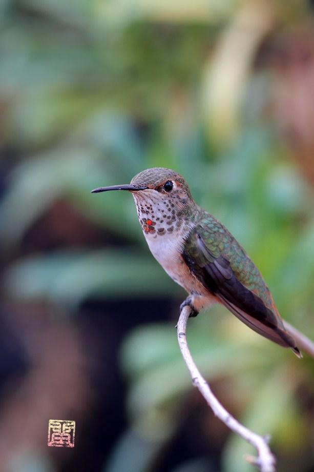 Allen's Hummingbird 102012