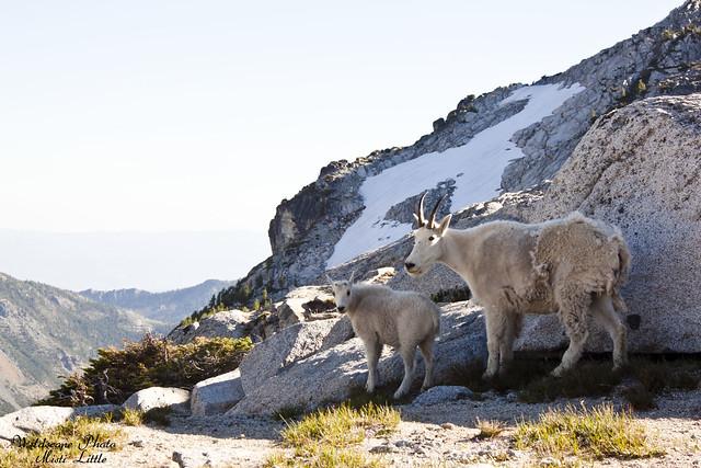 goats14