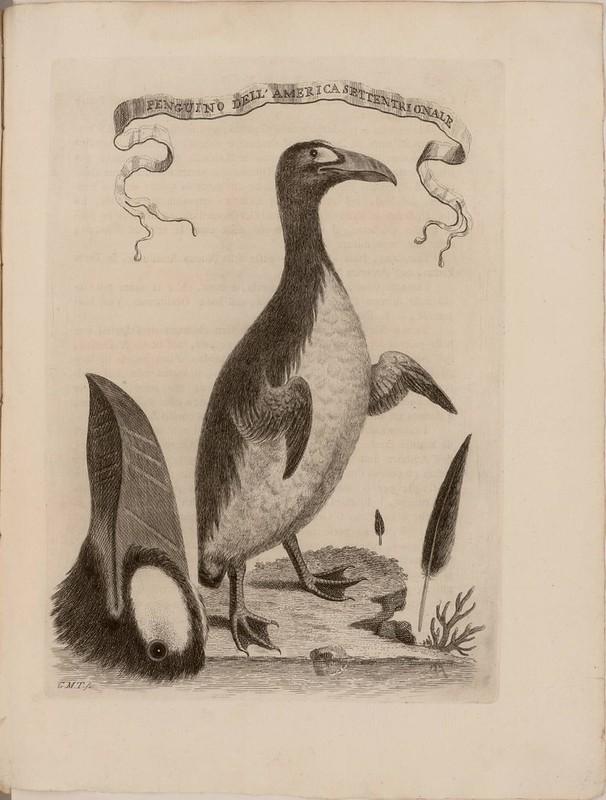 Penguino dell' America settentrionale