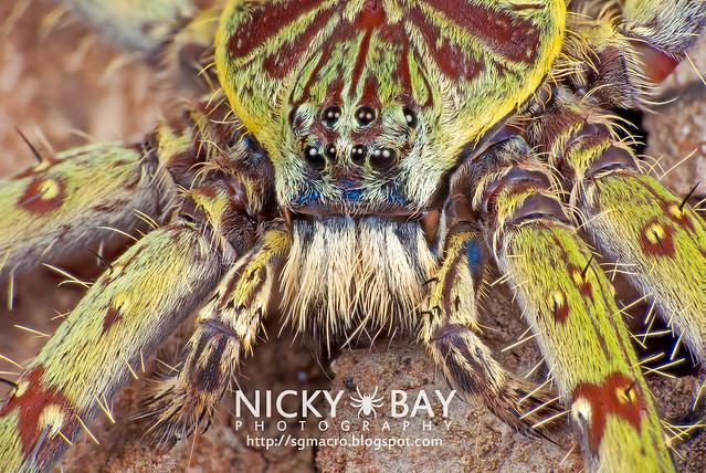 Huntsman Spider (Heteropoda boiei) - DSC_2065