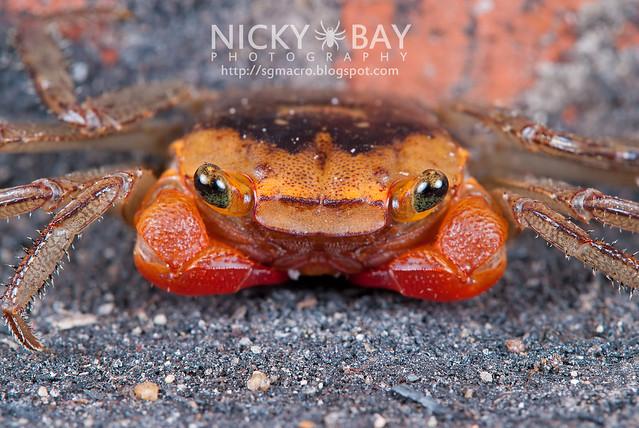 Terrestial Crab (Brachyura) - DSC_1836