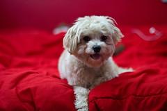 bichon frisã©(1.0), dog breed(1.0), animal(1.0), puppy(1.0), dog(1.0), cavachon(1.0), schnoodle(1.0), pet(1.0), coton de tulear(1.0), mammal(1.0), bolonka(1.0), poodle crossbreed(1.0), havanese(1.0), lhasa apso(1.0), morkie(1.0), bichon(1.0), cockapoo(1.0), maltese(1.0), cavapoo(1.0), bolognese(1.0),
