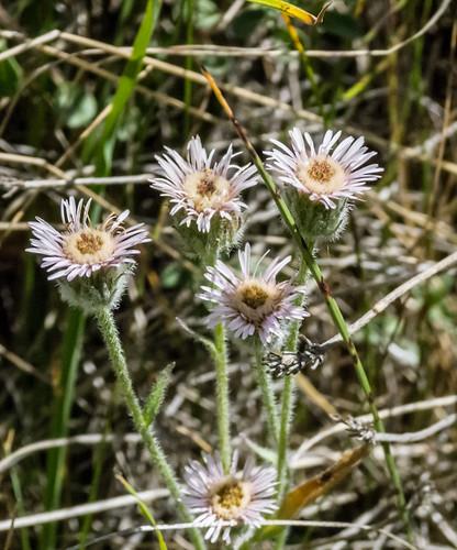 europe armenia asteraceae wildplants tsapatagh peterphoto gegharkunik erigeronacer