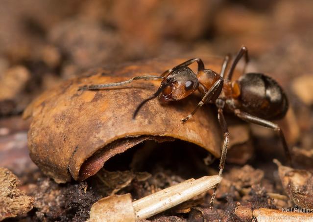 wood ants - Formic rufa 7