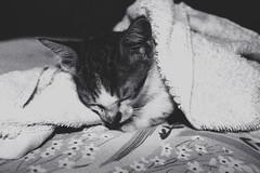 [フリー画像素材] 動物 1, 猫・ネコ, 子猫・小猫, 寝顔・寝姿, モノクロ ID:201211231000