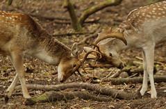 [フリー画像素材] 動物 (哺乳類), 哺乳類, 鹿・シカ, 戦う・格闘・喧嘩 ID:201211241000